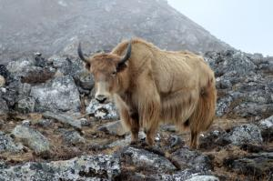 Yet another yak . . . yaks as a rule are only half tame and as unpredictable as a moose