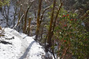 Red rhodendron flowers and white snow