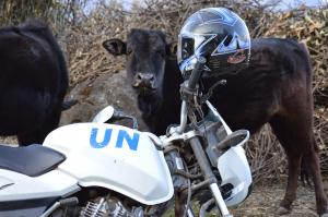 It's unclear why this motorcycle was posing with this heifer . . . near Goljung