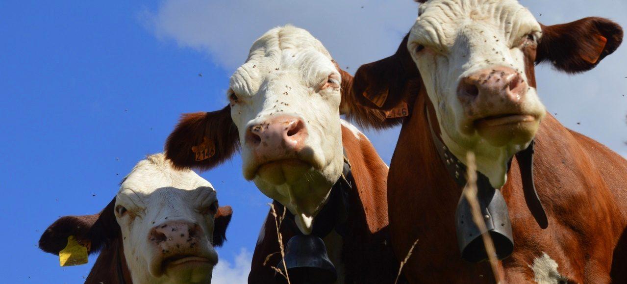 French cows in a pasture near Chalets du Truc, along the Tour du Mont Blanc