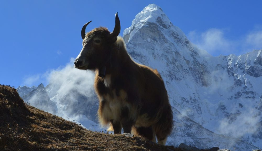 A yak in front of snowy mountains between Dingboche and Chukhung, Nepal