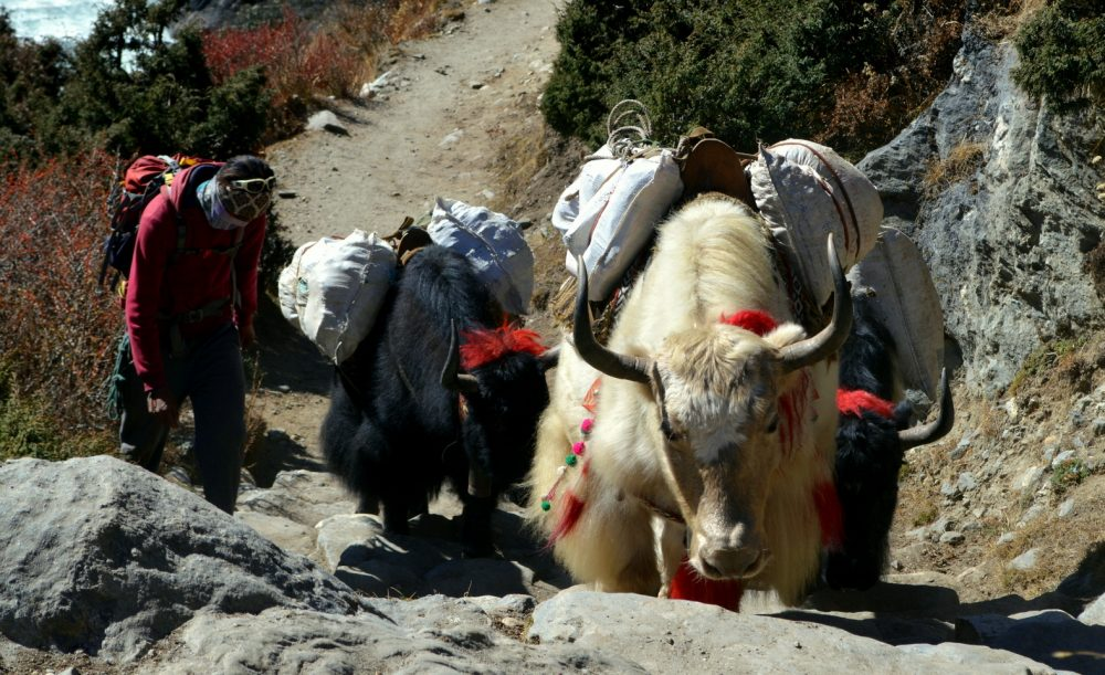 A fully-loaded yak caravan heads up the trail towards Everest Base Camp