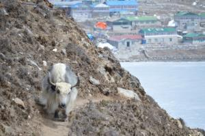 A very hairy beast blocks the road to Gokyo Village